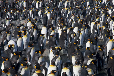 Some of the 200,000 king penguins at St Andrews Bay.